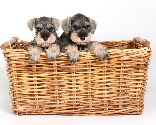P & S puppies